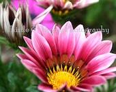 Pink Gazania Flowers - 5x7 Photographic Art Print