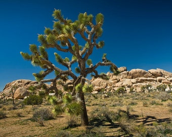 Joshua Tree in Joshua Tree National Park No.335 - A Desert Landscape Photograph