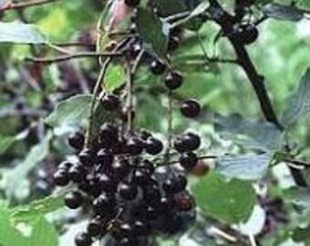 Chokecherry Seed-Organic Heirloom Fruit Seed- Non-GMO Seed
