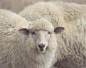 Sheep photography Farm photography Animal Photography Rustic Cottage Wall Decor  Home decor Fine Art Photography Print