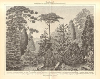 1904 Conifers, Evergreens, Thuja, Cypress, Pine, Ginko, Yew, Giant Sequoia, Cedar, Spruce, Nutmeg-yew, Juniper Original Antique Engraving