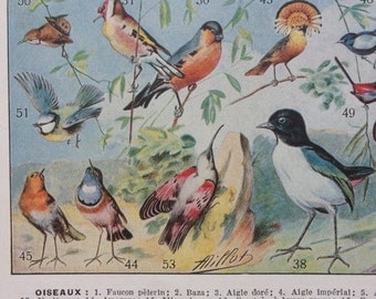 "Rare Illustration from 1931 ""Larousse Du XXe Siècle"" French Encyclopedia - Birds (Oiseaux) - Original Page"