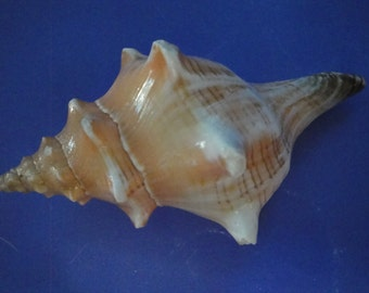 "Sea Shell Seashells 5.6"" Fascialoria Trapezium Shell"