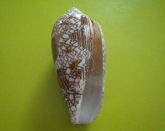 Sea Shell Seashells 85mm Conus TextileShell