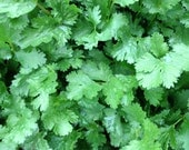 SALE Cilantro Slo-bolt Organically Grown Heirloom Coriander Seeds Excellent Flavor Heavy Metal Removing Superfood