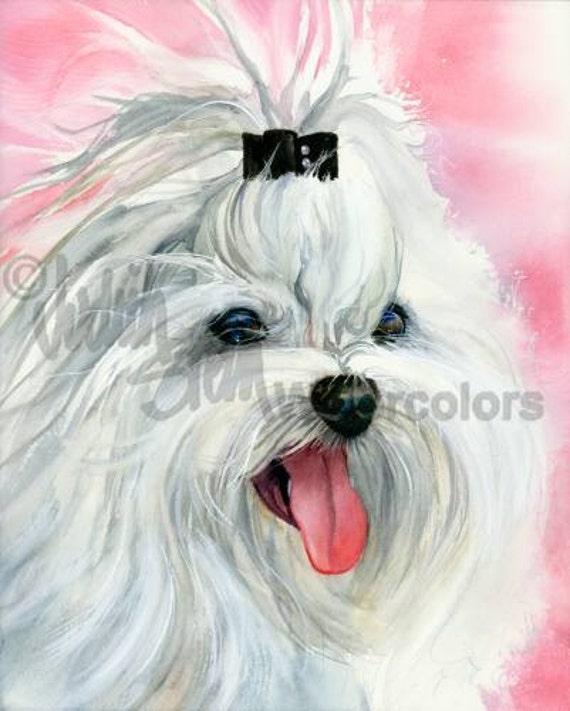 maltese bianco maltese bianco akc giocattolo cagnolino ritratto cane