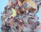 colorful nobilis shells with barnacles BEACH NAUTICAL COASTAL decor