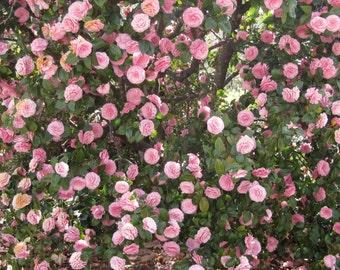 Pink Camellias Back drop Digital Download Nature Photography