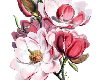 BOTANICAL PRINT Home Decor Magnolia Blossoms from 1877