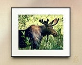 Wild Moose Photograph // Colorado Mountain Wildlife // Fine Art Print // 5x7 8x10 11x14