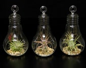 LightBulb Orb Terrariums with assorted plants and decorative gravel-Set of 3