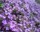 Heirloom 200 Seeds Thyme Thymus Serpyllum Purple Herbs Groundcover Flower Fresh Bulk Seed A038