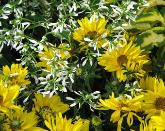 Heirloom 1000 Seeds Bidens Golden Eye Goddess Garden flower bulk seeds B0017