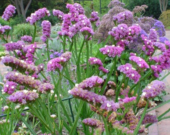 Heirloom 200 Seeds Tissue Statice Sea Pink Garden Panicle Spiky Trumpet Flower Bulk Seeds B0043