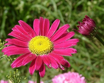 Heirloom 250 Seeds Pyrethrum Tanacetum Painted Lady Daisy Tansy Feverfew S103