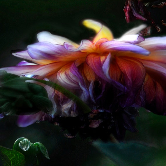 When Starships Collide, Bright, Bold Colorful flower Photograph.  A universe of colors and texture, movement and light.  11x14 Color Print