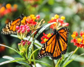 Two Colorful Monarch Butterflies Eating From Red Flowers Print