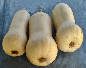 Waltham Butternut Heirloom Winter Squash Seeds Non GMO