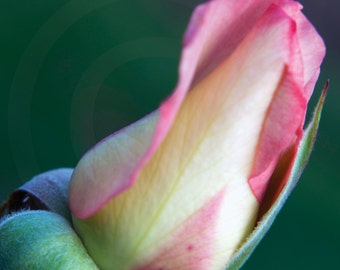 Pink Rose Macro Photography Fine Art  Photo Print