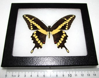 Real framed california yellow papilio cresphontes male framed butterfly insect