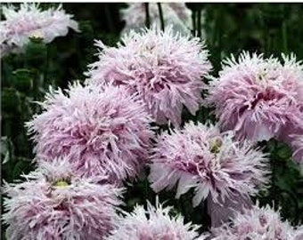 Heirloom Lilac Pompom Poppy Seeds, Something Different for Your Garden, 25 Seeds