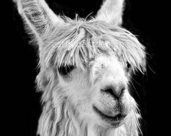 The Alpaca Flirt Black and White Fine Art Photograph