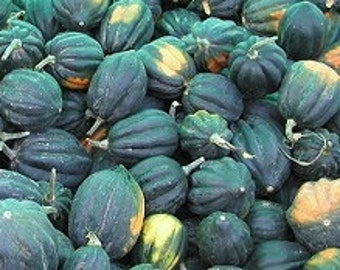 Heirloom Table Queen Acorn Squash, organic seed, Oregon Pacific Northwest