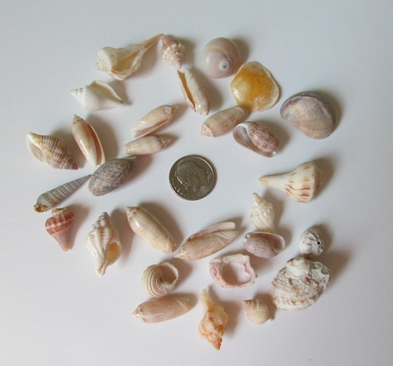30 small sea shells jewelry crafts from