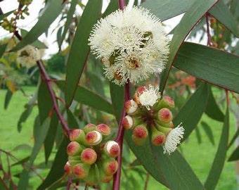 1/2 Ounce Eucalyptus Essential Oil
