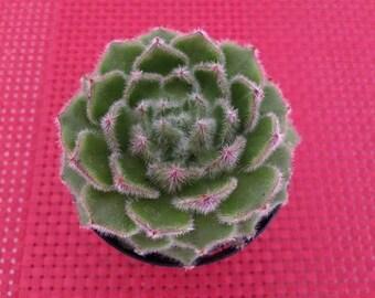 Medium Succulent Plant. Medium Wooly Rose