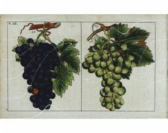 Antique Botanical  Hand Colored  Fruit Print – Grapes