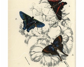 Antique Natural History Entomological Print – Myrina Silenus (Butterflies)