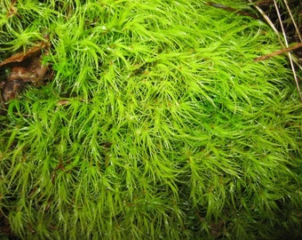 Terrarium Moss Mood, Great for Terrariums & Weddings!