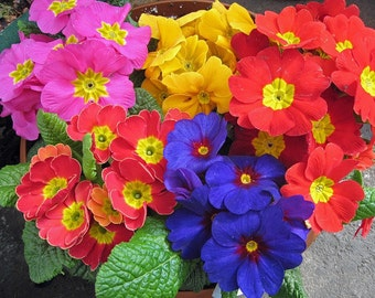 0.1g (approx. 150) cowslip primrose polyanthus seeds PRIMULA VERIS stunning mixed colors <Fresh seeds - Best before 12.2018!>