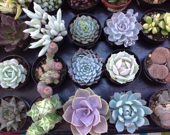 Succulent spectacular, 30 beautiful succulents from the small section in my shop...