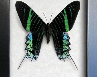 Neon Green Uranias Leilus Real Day Flying Moth In Shadowbox