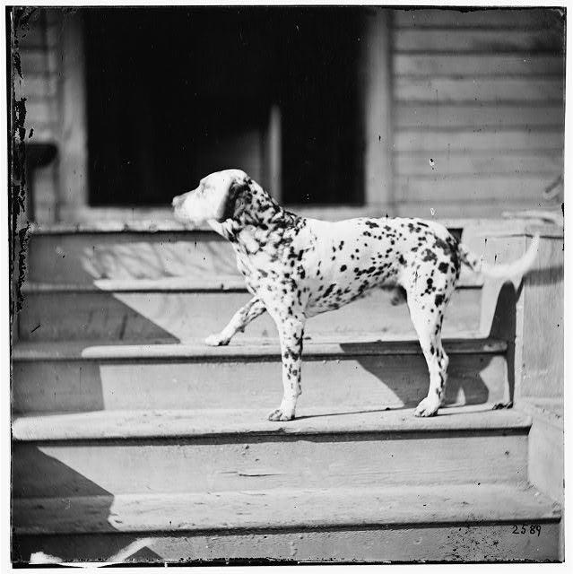 Dalmatian Dogs Extinct C.1865 Civil War Dalmatian Dog