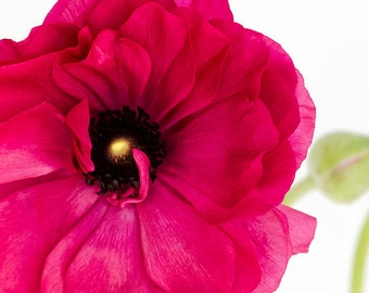 Fuchsia Red Ranunculus #05 fine art flower photography, nature wall art giclée photo, wall decor
