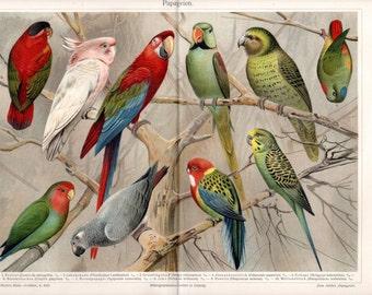 1890 Antique PARROTS Print Lithograph German Double Page Natural History