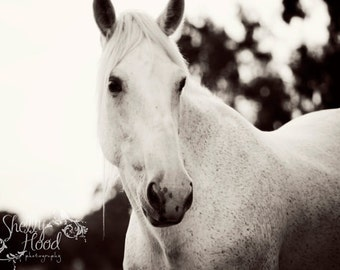 Fine Art Photography Print of a Percheron White Horse, Available in Matte or Lustre, Black & White Nature Horse Art Print Wall Hanging