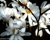 "Art Photography Print Flower White Magnolia 30x40cm/11.75""x15.75"" - IolantesPhotography"
