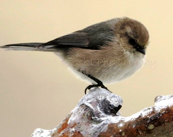 BIRD Wildlife Photograph; Fine Art NATURE Photography; Winter bushtit bird ice snow bird home decor photo wall art; Bushtit on Branch of Ice