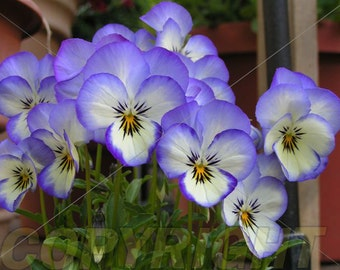 Violas Note Card