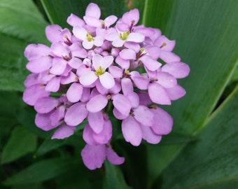 Purple Globe Candytuft flower Seeds (50ct) perennial wildflower seeds Iberis sempervirens