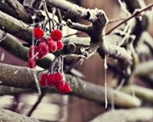 Fine art viburnum branch in winter - Photogfaphy - Wall art