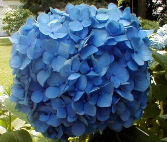 2 Nikko Blue Hydrangea PlantsMacrophylla 'Nikko от plantsandthings