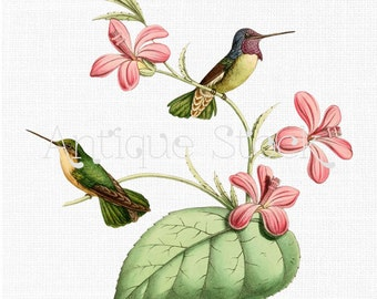 Birds Clip Art - Costa's Hummingbird Illustration 1877 for Wall Art, Decoration, Decoupage, Scrapbook, Paper Crafts, Cards, Invites...