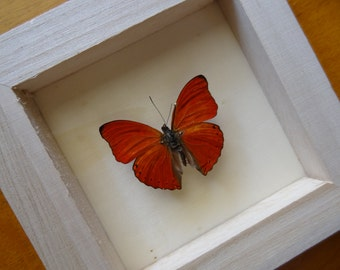 Real Cymothoe Sangaris Framed - Taxidermy - Home Decoration - Collectibles
