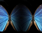 Irredescent blue butterfly website background - pre-sized and optimized for websites