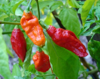 """Bhut Jolokia Chile Pepper - Ghost Pepper - World's Hottest Chile Pepper - 4 Live Plants/2"""" Pots"""